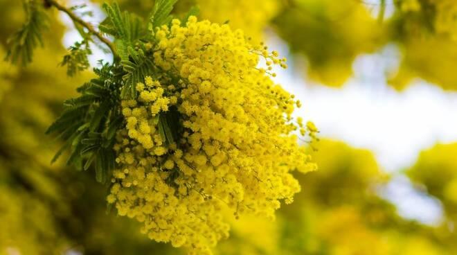 La Sagra della Mimosa, appuntamento che si ripete da anni a Pieve Ligure.