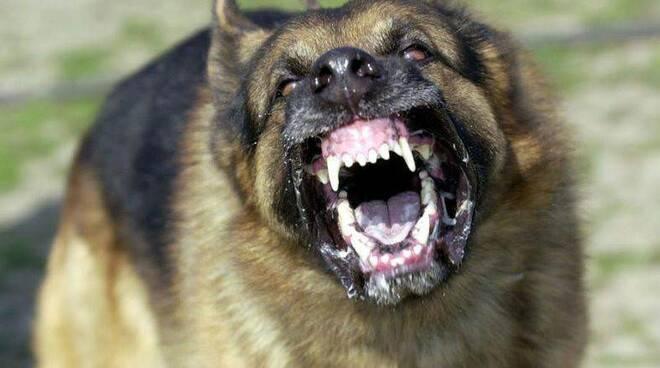 Un cane feroce e aggressivo.