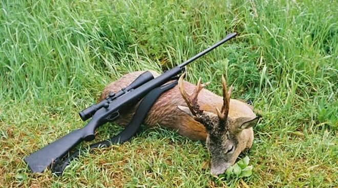 Capriolo abbattuto da un cacciatore.