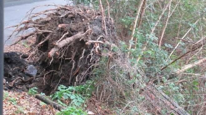 Un pino crollato a Camogli.
