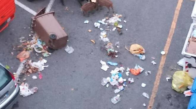 Una mamma di cinghiale e due cuccioli banchetta a Recco con i resti dell'umido.