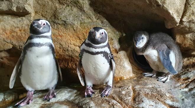 I neo nati pinguini dell'Acquario di Genova