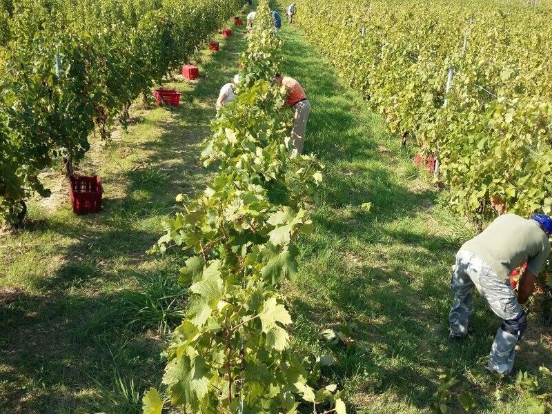 uva, vino, vigne