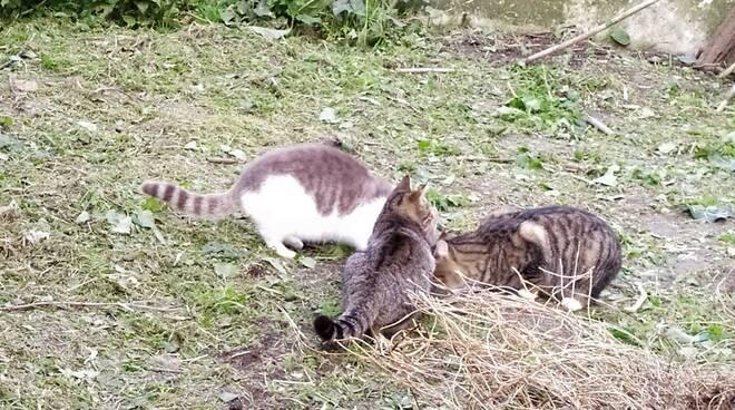 gatti a chiavari