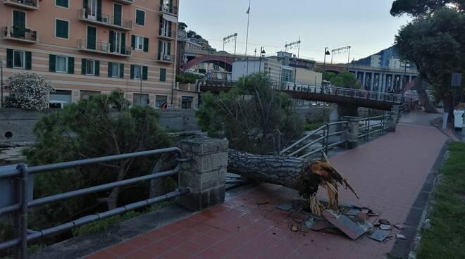Nella foto di Cecilia Cicala il pino marittimo crollato a Recco.