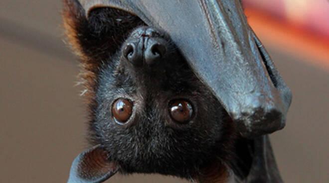 Pipistrello del Parco dell'Aveto.