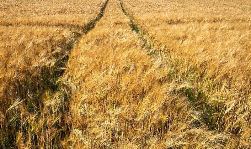 grano, coltivazione, agricoltura
