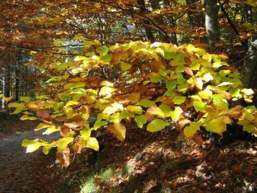 Un piccolo faggio con i colori dell'autunno nel Parco dell'Aveto.