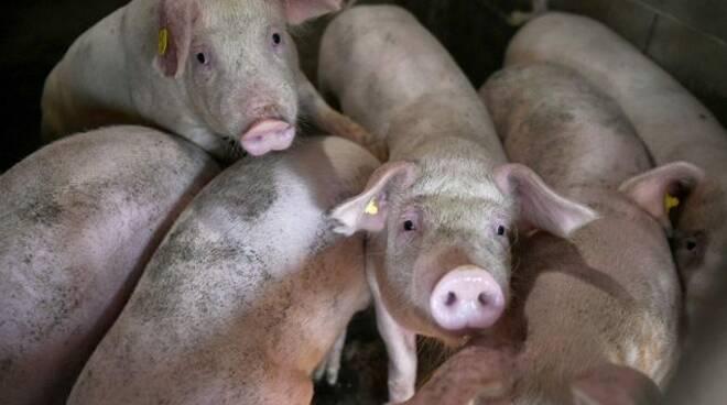Allevamento di maiali.