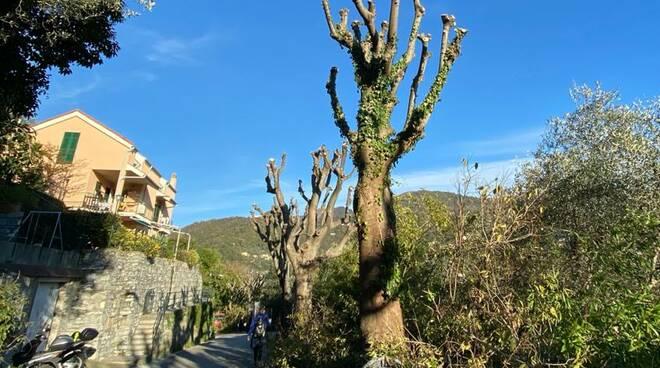 recco, megli, potatura alberi