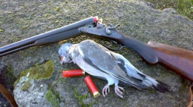 Un colombaccio appena abbattuto da un cacciatore.
