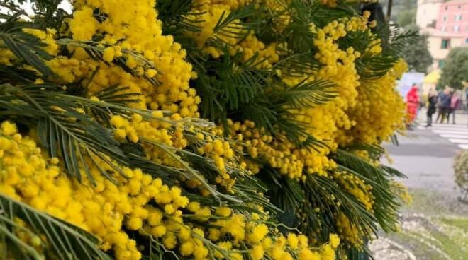 mimosa, sagra, pieve ligure