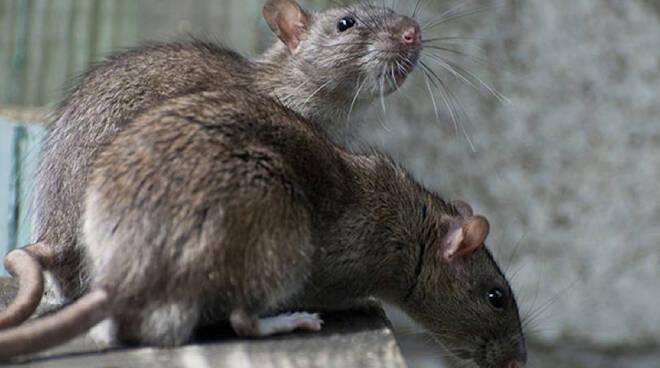 Ratti.