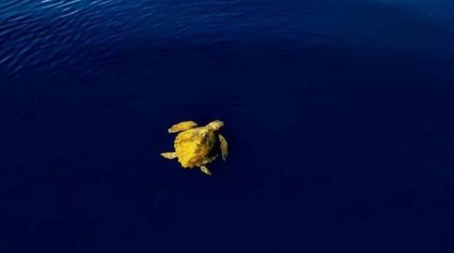 tartaruga marina (credits Arpal)