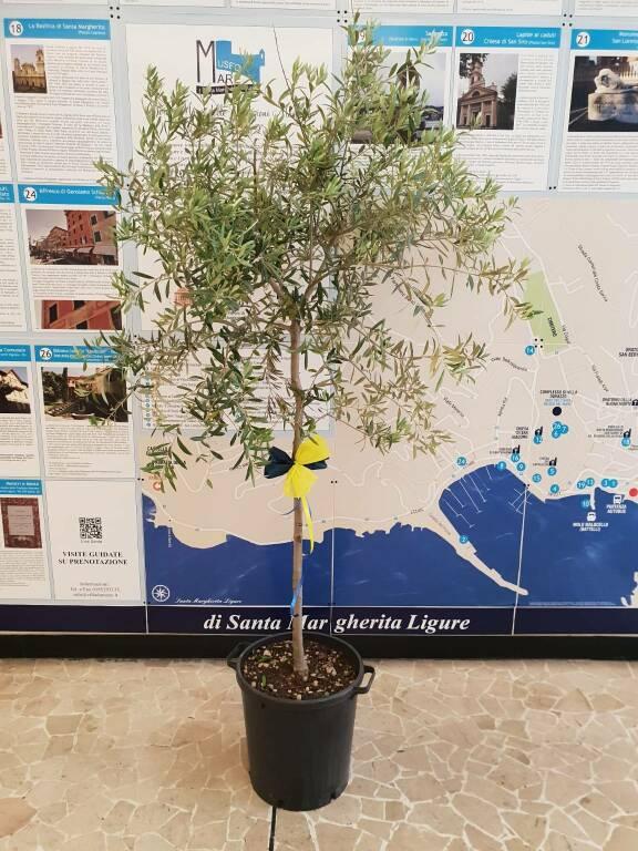 albero di ulivo al comune di Santa