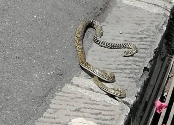 biscia in strada