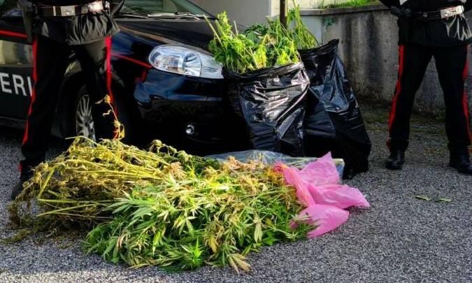 marijuana sequestrata dai carabinieri