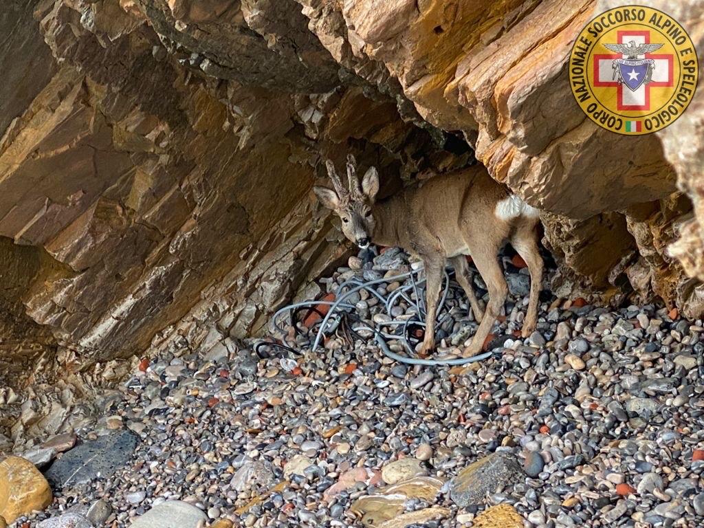 Porto Venere: salvato capriolo, finito in una caletta